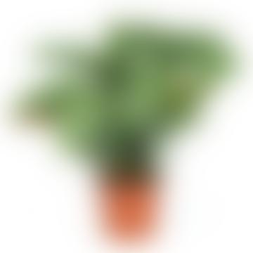 Calethea Plants