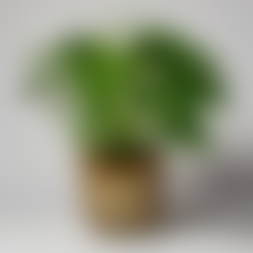 Monstera Adansonii Houseplant