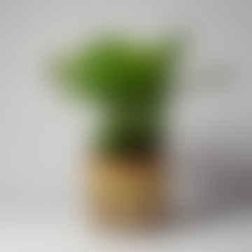 Calathea Orbifolia Houseplant