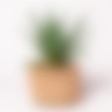 Small Aloe Arborescens House Plant
