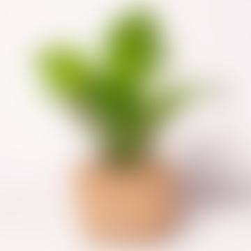 Forest Maranta Leuconeura Houseplant