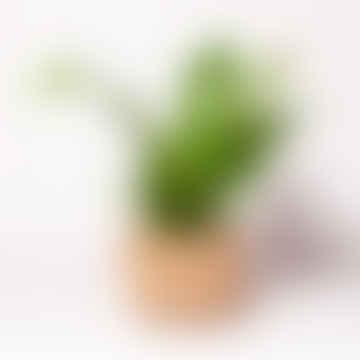 Asplenium Campio Houseplant