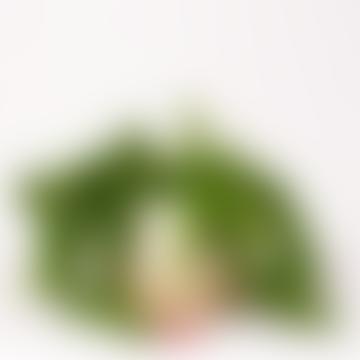 Aeschynanthus Radicans Houseplant