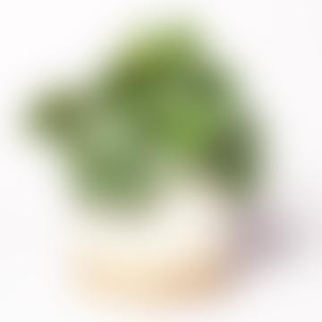Peperomia Argyreia House Plant