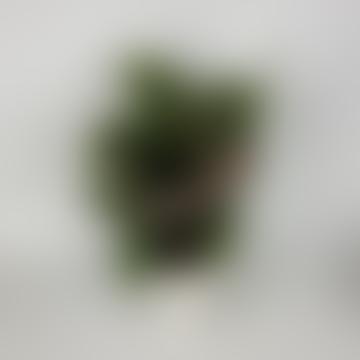 Calathea Makoyana Peacock Plant 12 Cm