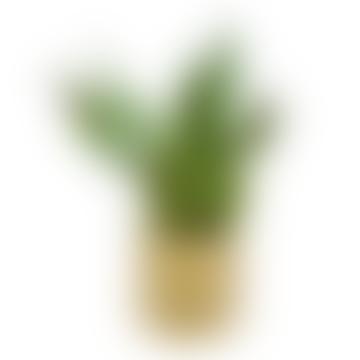 Snake Plant - Sansevieria Trifasciata Moonshine
