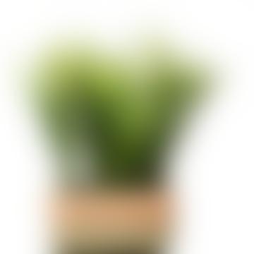 Green Fern In Rustic Rectangular Pot 28 Cm