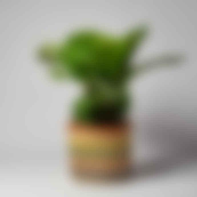 Forest Calathea Orbifolia Houseplant