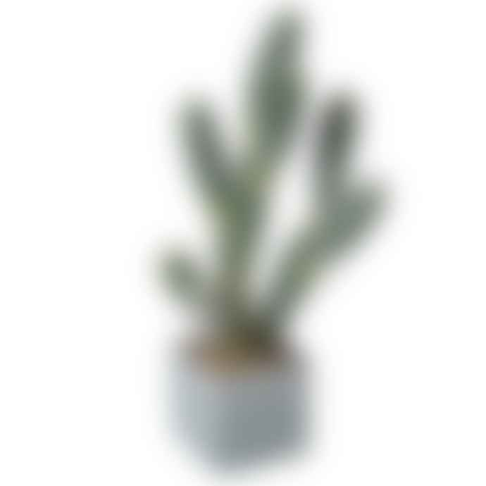 Grace and Grey Green Cactus Plant in Pot