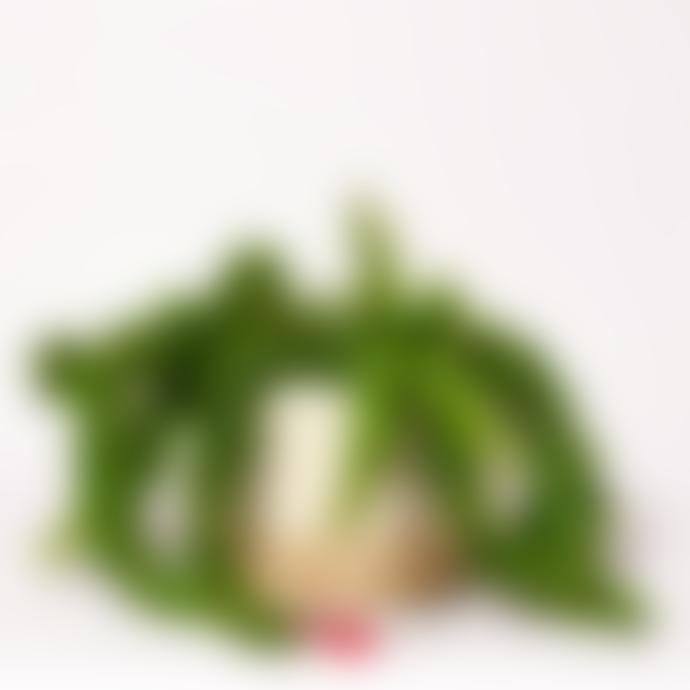 Forest Aeschynanthus Radicans Houseplant