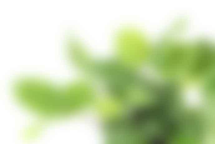 Gregory + Tapping Maranta Leuconeura Kerchoveana Plant