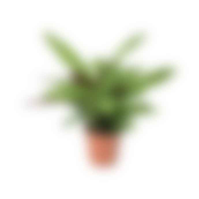 Gregory + Tapping Calathea Lancifolia Plant
