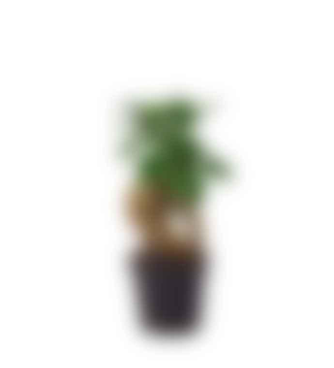 Mini Ficus Ginseng Plant