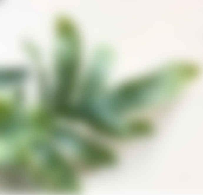 Phlebodium Aureum Plant