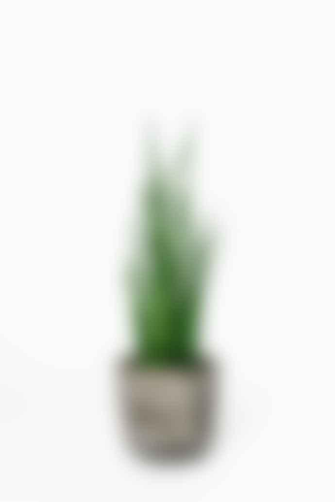Forest Sansevieria Mikado House Plant